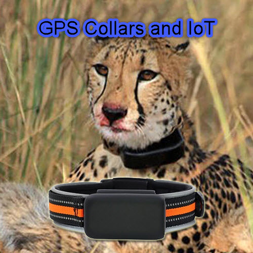 How The Use of a GPS Tracking Collar is helping to save Africas Lions and Cheetahs